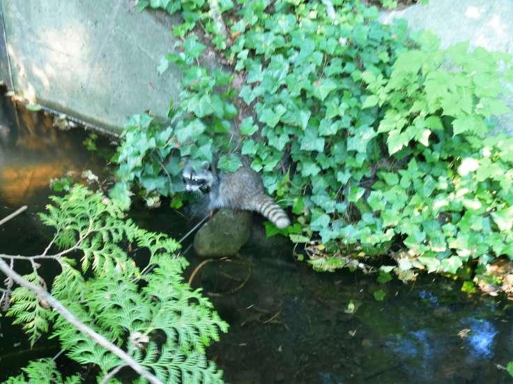 Raccoon in Stanley Park, Vancouver
